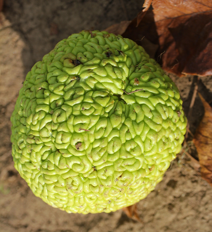 a round textured fruit