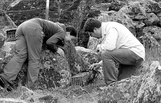 Rosalinda Vizina and Professor David Wyatt examine one of the Tomahawk traps, which contains the first ringtail that they found on this particular trip out to the Sutter Buttes. A bio-degradable bag is wrapped around each trap to provide the captured ring tails some privacy before they are released from the trap. | Callib Carver | callibcarver.express@gmail.com