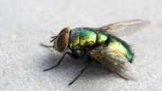 Green_Fly