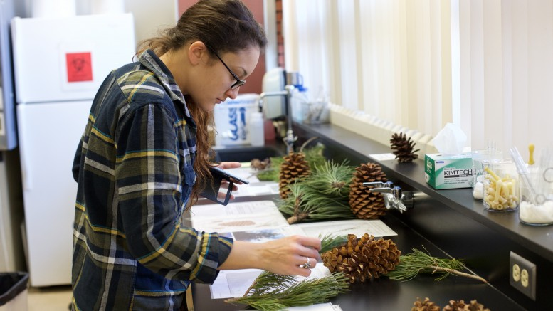 City College student Leesa Dixey, Biology and Field Ecology major, looks at the plants laid out for Conifer Lab II in Virginia Meyer's Field Botany class. Emily Peterson, Staff Photographer. |emilypetersonexpress@gmail.com