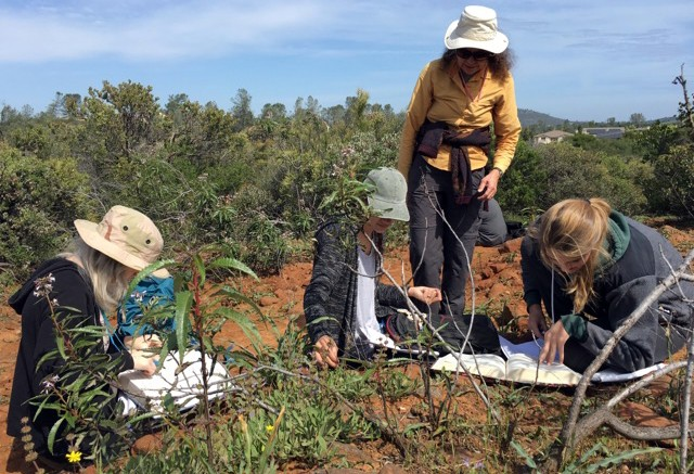 Virginia Meyer's field botany class practice identifying flowering plants using the Jepson Manual near Cameron Park, California. Emily Peterson, Staff Photographer. | emilypetersonexpress@gmail.com